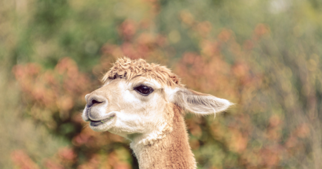 Walking with Alpaca's through fields, forest and mushrooms