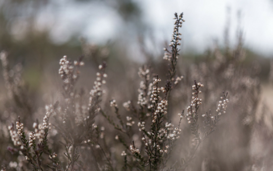 A close-up of the Kalmthoutse Heide during winter time
